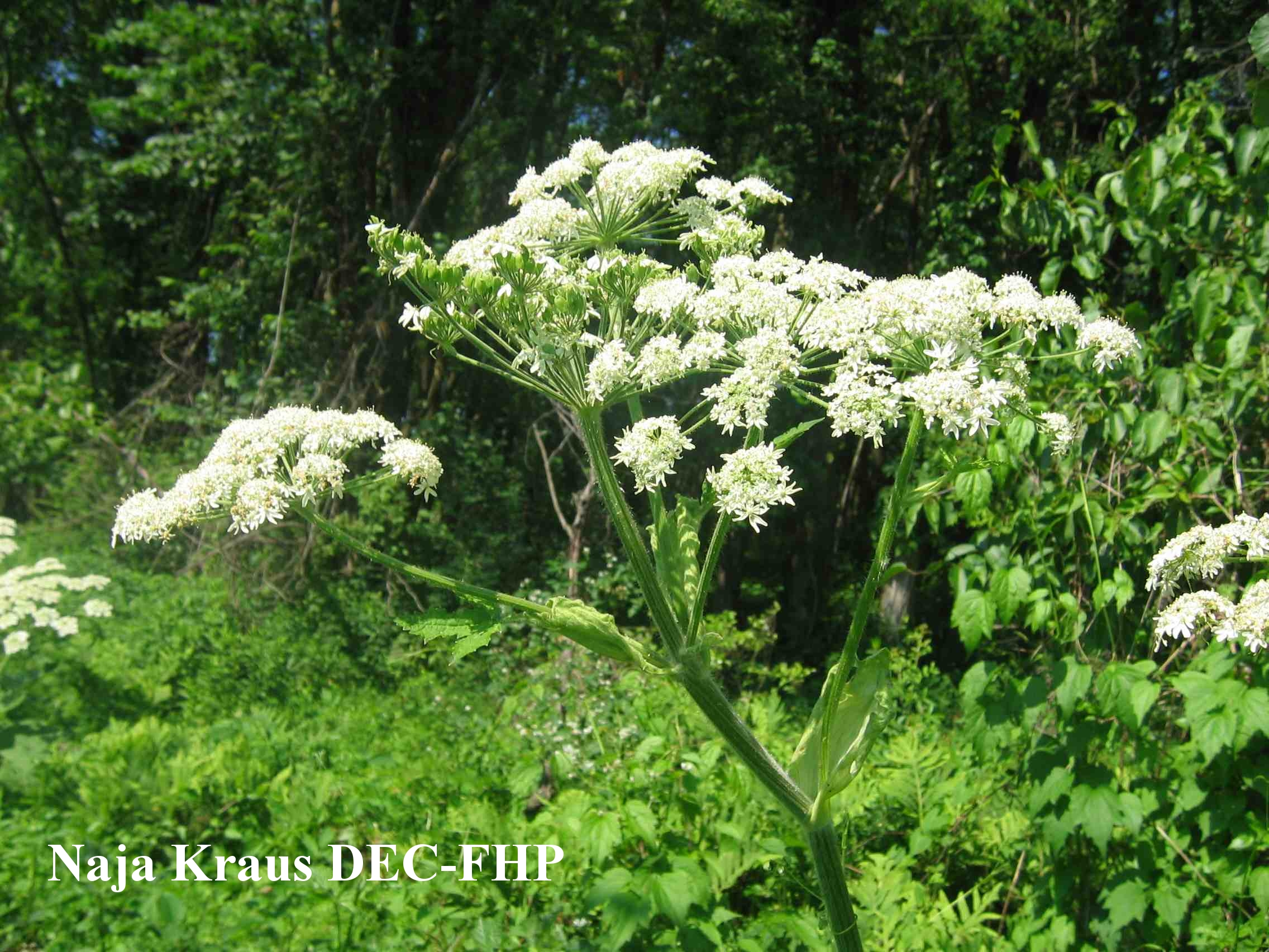 Cow parsnip gangly top of cow parsnip with white flower bunches mightylinksfo